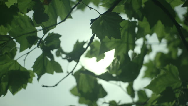 sunlight shines through broad green leaves, uk. - zona arborea video stock e b–roll