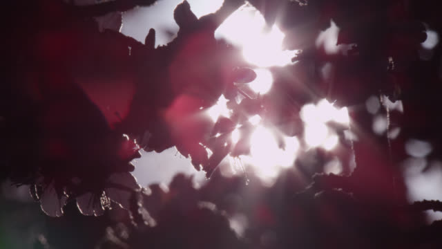 sunlight shines through cherry tree (prunus) blossom in spring, wales - cherry blossom stock videos & royalty-free footage