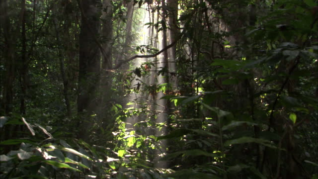 Sunlight shines through rainforest, Sumatra