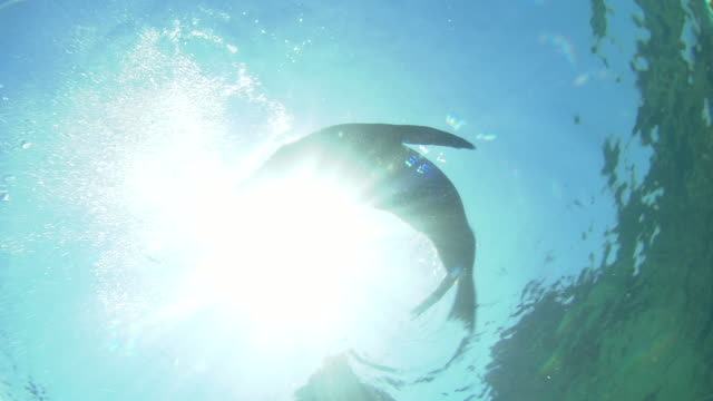 sunlight silhouettes a sea lion lazily swimming near the ocean's surface. available in hd. - robbe stock-videos und b-roll-filmmaterial