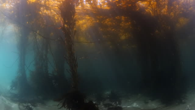 sunlight streaming through kelps undersea - carmel by the sea, california - kelp stock-videos und b-roll-filmmaterial