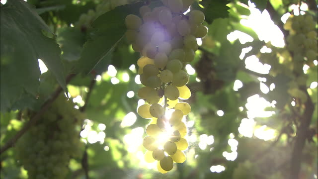 Sunlight streams through a cluster of green grapes in Xinjang Uyghur Autonomous Region Silk Road China