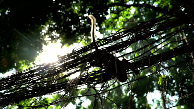 stockvideo's en b-roll-footage met sunlight though tropical rainforest with macaque primate bali - dierenverzorging