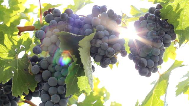 sunlight through a bunch of grapes