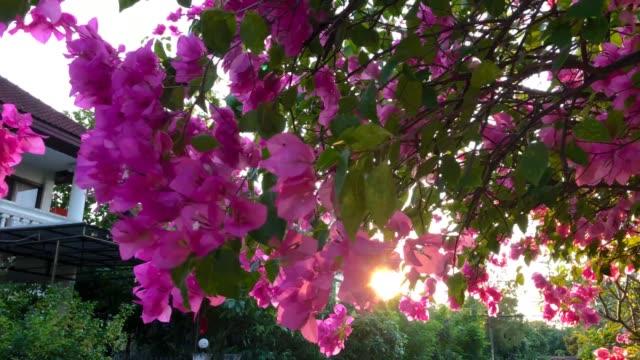 Sonnenlicht durch Bougainvillea Blumen Busch