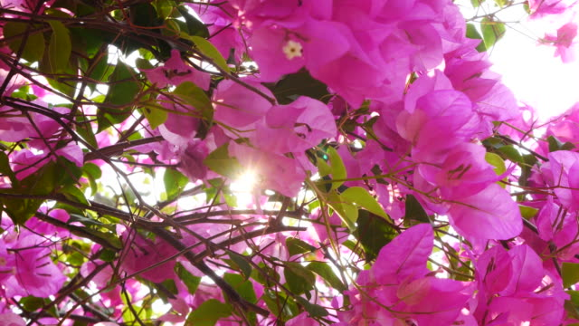 Sunlight through Bougainvillea flowers bush