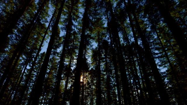 Sonnenlicht durch dichten Wald Douglas Tanne