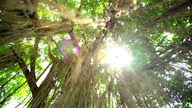 sunlight through jungle tree canopy tropical rainforest indonesia - tropical tree stock videos & royalty-free footage