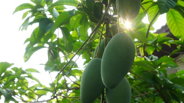 sonnenlicht durch blatt, mango auf baum - mango stock-videos und b-roll-filmmaterial