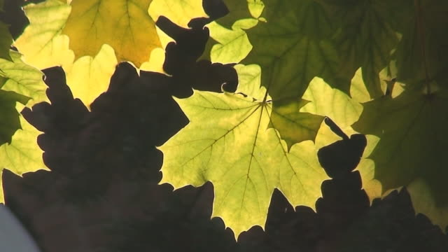 sunlight through maple leaf - maple leaf stock videos and b-roll footage
