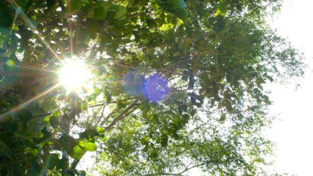 Rayonnement solaire à travers les feuilles vertes de l'arbre dans le matin