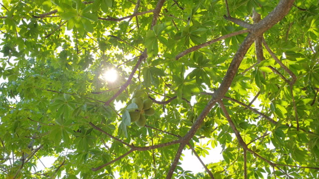 Sunlight through tree in tropical rain forest.