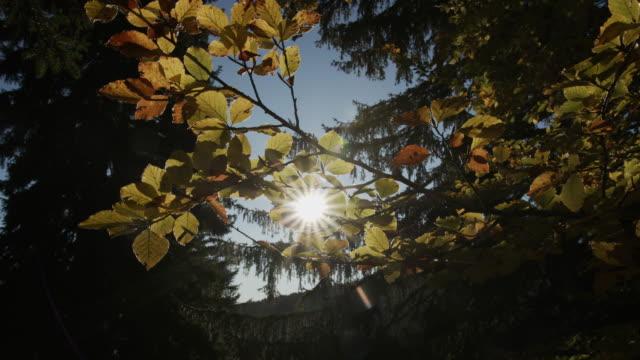vidéos et rushes de lumière du soleil par des lames jaunes d'arbre - parc national