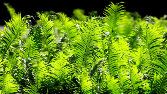 Sunlighted Fern Swaying In The Wind