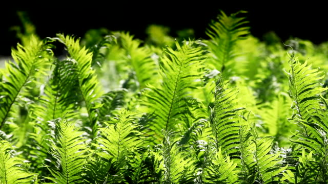 sunlighted fern swaying in the wind - fern stock videos & royalty-free footage
