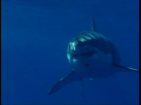 mcu sunlit great white shark swimming to camera, mexico - shark stock videos & royalty-free footage