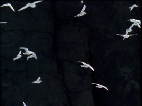 Sunlit snow petrels flying and gliding against dark cliffs in background