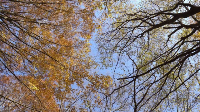 sunlit treetops and falling autumn leaves - directly below stock videos & royalty-free footage