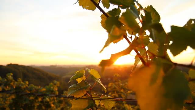 HD DOLLY: Sunlit Vine Leaves