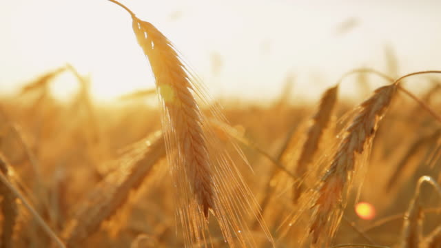 hd dolly: sunlit wheat stalks - wheat stock videos & royalty-free footage