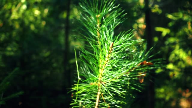 sunny forest behind the pine twig - twig stock videos & royalty-free footage