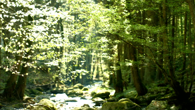 PAN Sunny Forest With Glittering Creek (4K/UHD to HD)