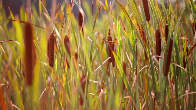 Sunny landscape of bulrush and grassy field