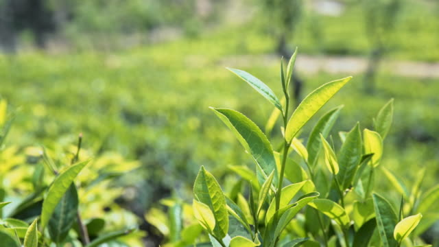 ms sunny lush green tea plants,sri lanka - plantation stock videos & royalty-free footage