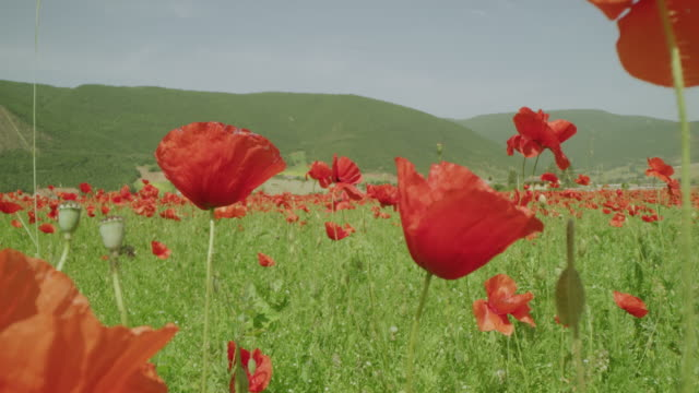 stockvideo's en b-roll-footage met ws zonnige bergweide met trillende rode papaverwilde bloemen, castelluccio, umbrië, italië - wilde bloem