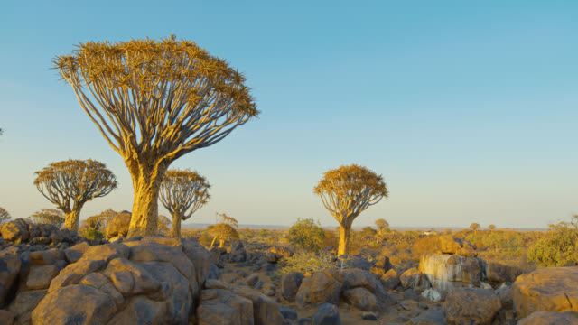 ws sunny köcher bäume in der wüste, namibia,afrika - naturwunder stock-videos und b-roll-filmmaterial