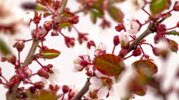 Sunny Spring Morning in Cherry Garden