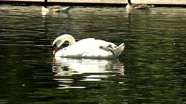 sunbathers on south bank hyde park / gvs london zoo gvs of lake and birds beside various shots of swan on lake preening people walking past colourful... - preening stock videos & royalty-free footage