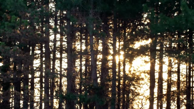 sunrise, 4k time lapse of the sun rising in a coniferous forest, springtime, beauty in nature, sunbeam, outdoors, dawn, sun rays - pine woodland stock videos & royalty-free footage