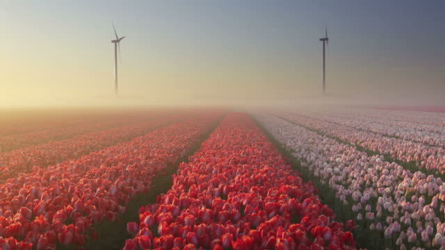 sunrise and fog over rows of blooming tulips, the netherlands - netherlands stock videos & royalty-free footage