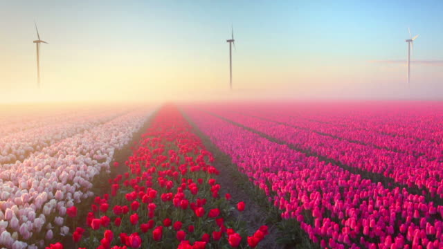 sunrise and fog over rows of blooming tulips, the netherlands - dutch culture stock videos and b-roll footage