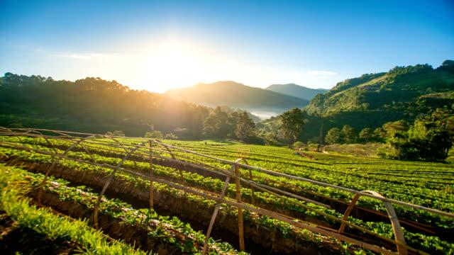vidéos et rushes de lever du soleil et de la rosée du matin sur les champs de fraise au nord de la thaïlande. - récolter