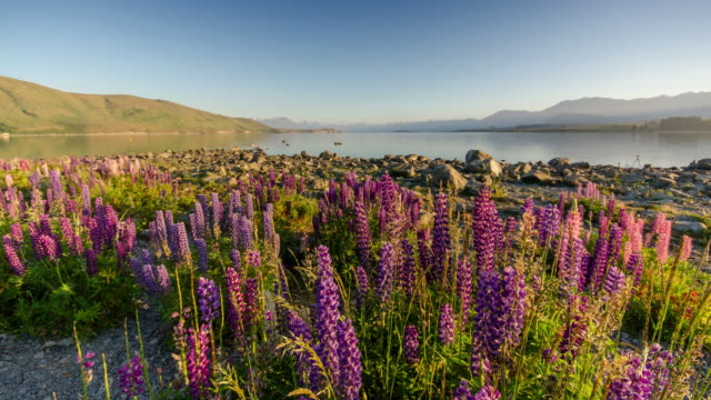 sunrise at lake tekapo with lupins flower , canterbury , new zealand , time lapse movement - wildflower stock videos & royalty-free footage