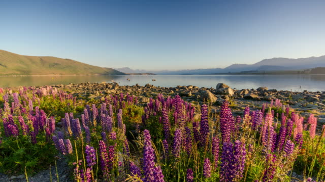 Sunrise at Lake tekapo with Lupins flower , canterbury , new zealand , Time Lapse , Zoom out movement