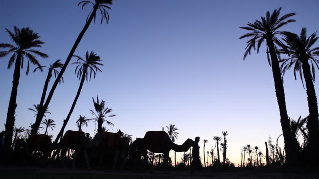 sunrise at oasis in desert with camels - arbeitstier stock-videos und b-roll-filmmaterial