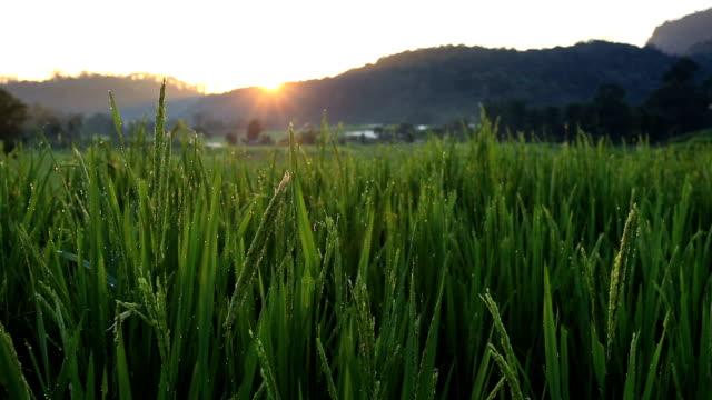 Nascer do sol em campos de arroz terraço em Chiang Mai, Tailândia