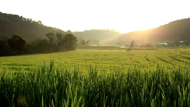 sunrise at terrace rice fields in chiang mai, thailand - rice terrace stock videos and b-roll footage