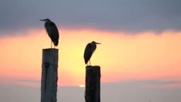 Sunrise Behind Herons