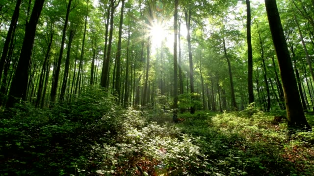 sunrise in the forest, spessart, franconia, bavaria, germany - beech tree stock videos and b-roll footage