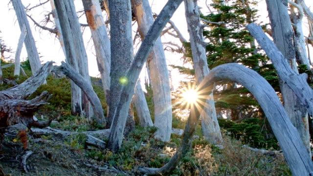 sunrise lens flare dead trees snags forest fire recovery mt. hood oregon cascades 254 - ねじれた点の映像素材/bロール