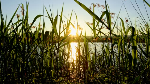 sunrise on lake, niedernberg, franconia, bavaria, germany - reed grass family stock videos and b-roll footage