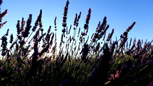 sunrise on lavender fields - valensole - provence alpes cote d'azur stock videos & royalty-free footage