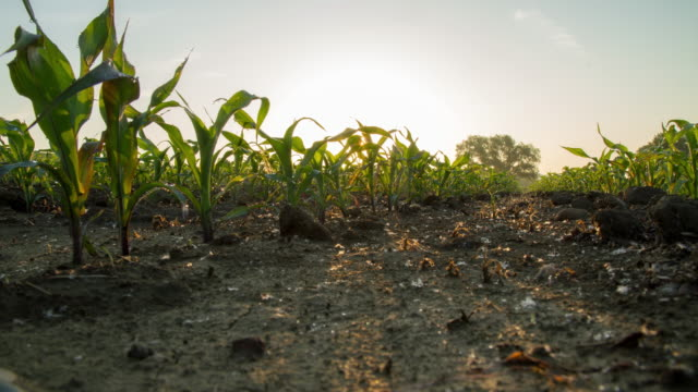 T/L Sunrise over a field of young corn plants