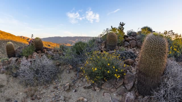 sunrise over cacti and wildflowers in the anza-borrego desert - barrel cactus stock videos and b-roll footage