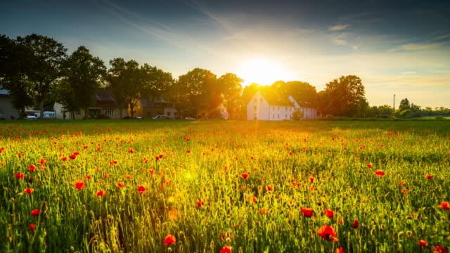 sunrise over corn poppy field - crane shot - meadow stock videos & royalty-free footage