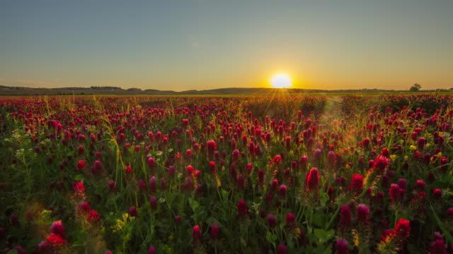 vídeos de stock, filmes e b-roll de t/l ao nascer do sol sobre o campo de trevo - 40 segundos ou mais